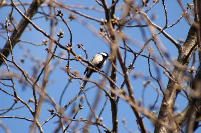 小鳥も桜の木をパトロール中。まだ咲きそうにないねー。