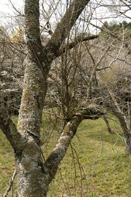 テング巣病+カワラタケ病に冒された樹