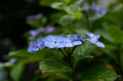 花びらについた雫が青く輝いていました。