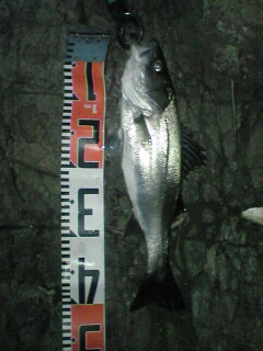 43cm。