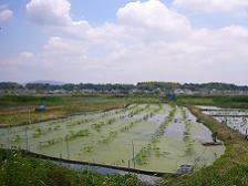 虫掛-藤沢間のレンコン畑