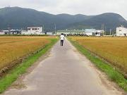 りんりんロード脇の金色田園風景