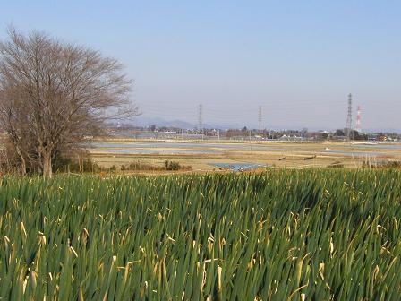ネギ畑の向こうに山が近づく関東平野を眺めながら
