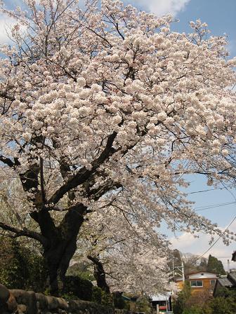 満開を迎える崇徳寺の桜