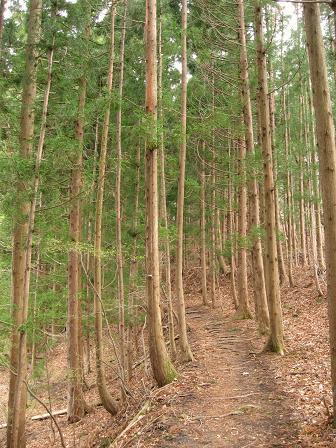 杉林の平坦路を行く