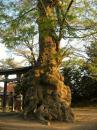 住吉神社の大ケヤキ