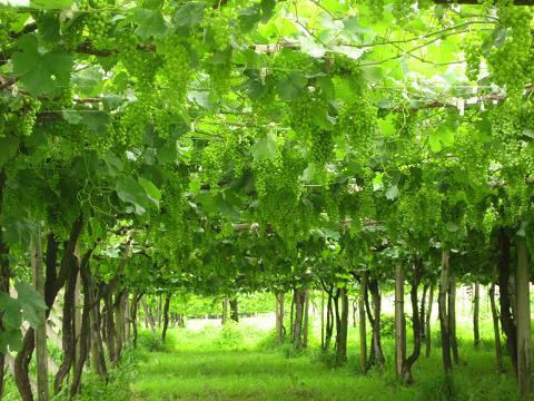 桔梗ヶ原は信州ブドウの産地
