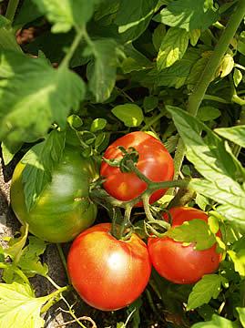 070628_tomato1.jpg