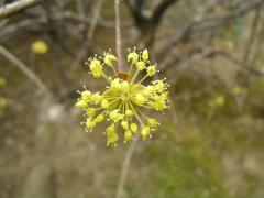 サンシュウの花