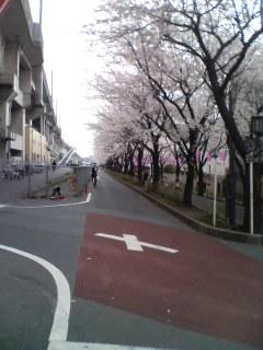高架下の桜並木。。