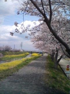 平塚の桜!