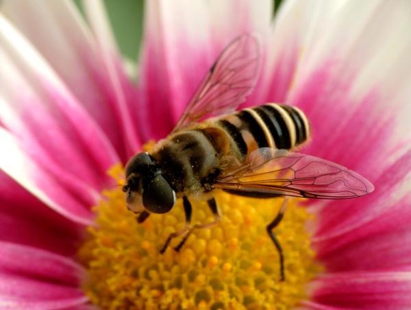 食事中のミツバチくん