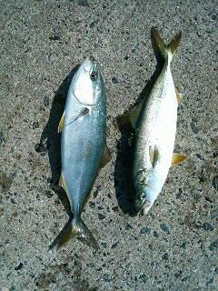 ルアー初ヒット(左)と浮きサビキ(右)の釣果