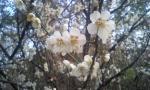 梅の花でーす
