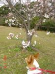 hamanakosakura3.26.jpg