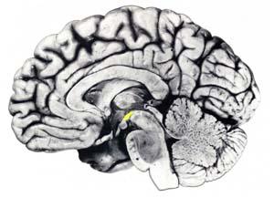 ピント合わせは自律神経支配