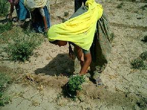 ソジャットの砂漠でヘナの収穫をする農夫たち,ソジャツトヘナ